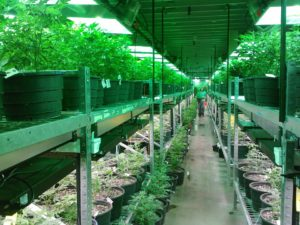 medical cannabis cultivation and manufacturing in San Francisco